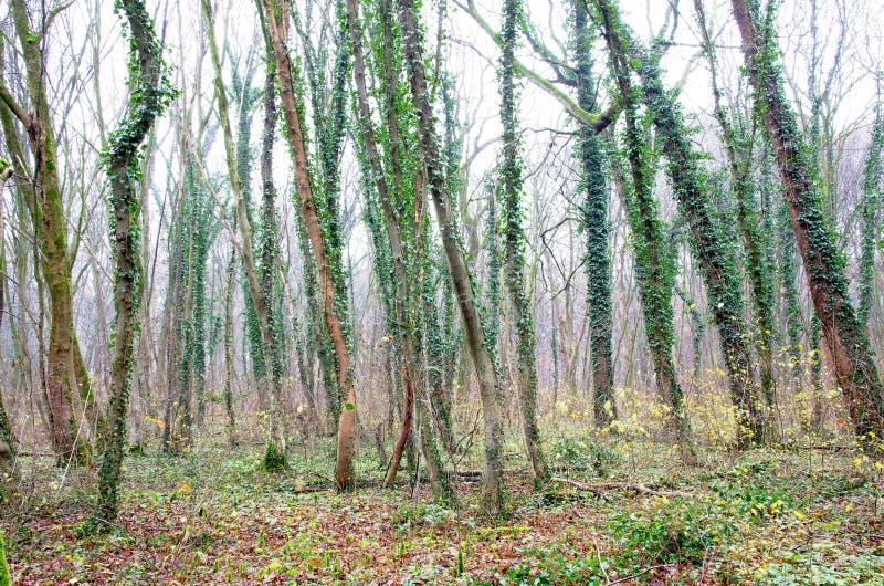 Lierre vert sur des arbres d'automne photos libres de droits