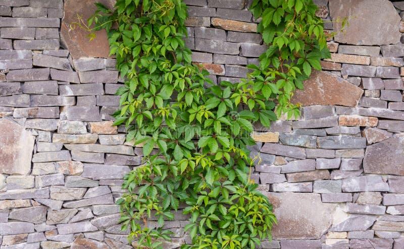 Lierre vert sur un mur en pierre images libres de droits