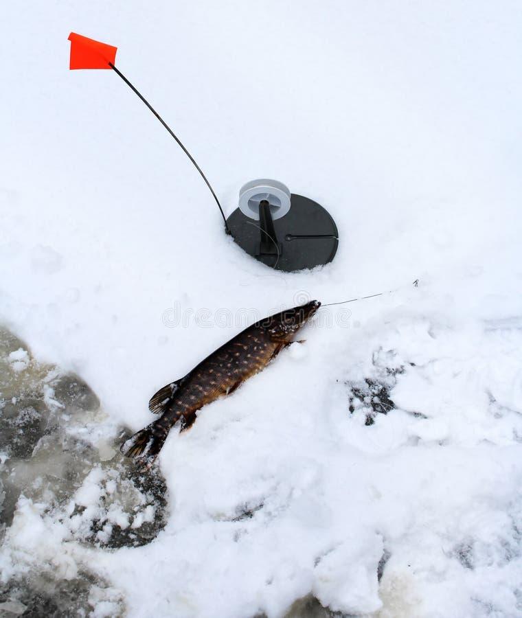 lies för fiskeis bara blockerade vinterzander Isfiske i ishålet royaltyfria bilder