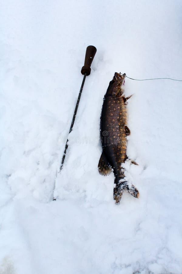 lies för fiskeis bara blockerade vinterzander Isfiske i ishålet royaltyfri fotografi