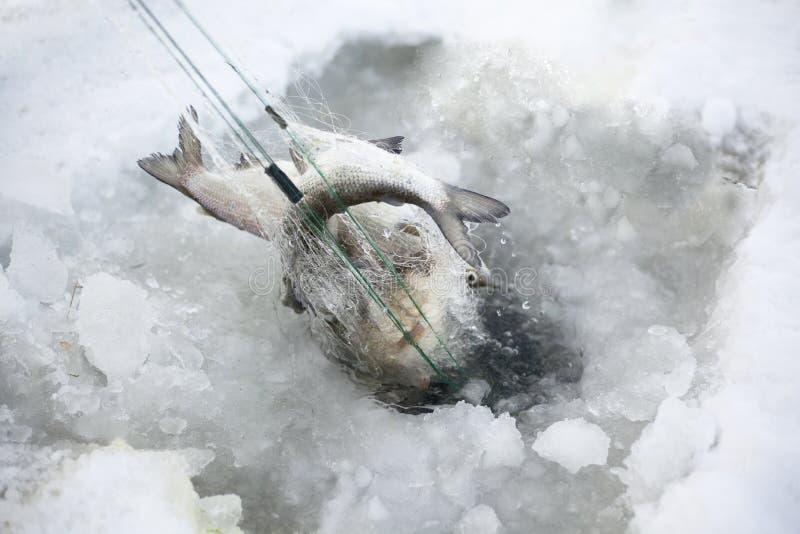 lies f?r fiskeis bara blockerade vinterzander royaltyfria bilder