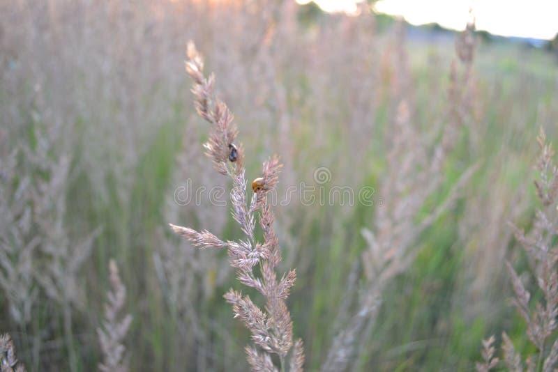 Lieveheersbeestje royalty-vrije stock foto
