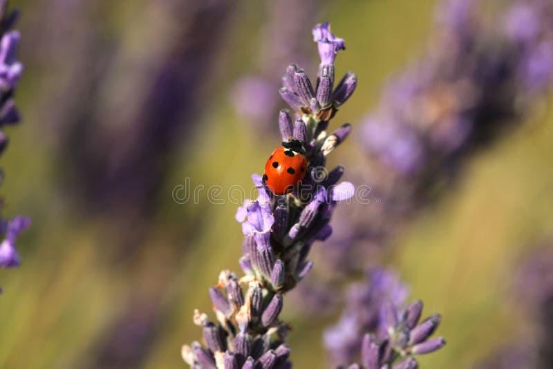 Lieveheersbeestje in de macro van lavendelgebieden stock afbeeldingen