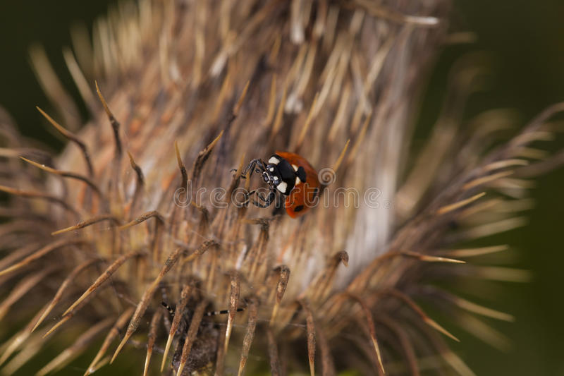 Lieveheersbeestje die op een droge distel lopen stock foto's