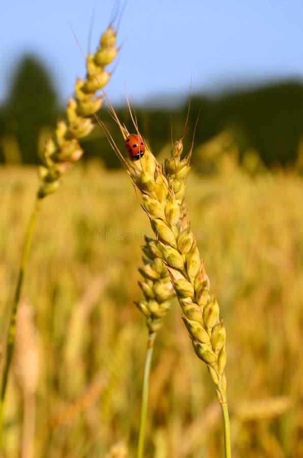 Lieveheersbeestje en tarweoor stock foto