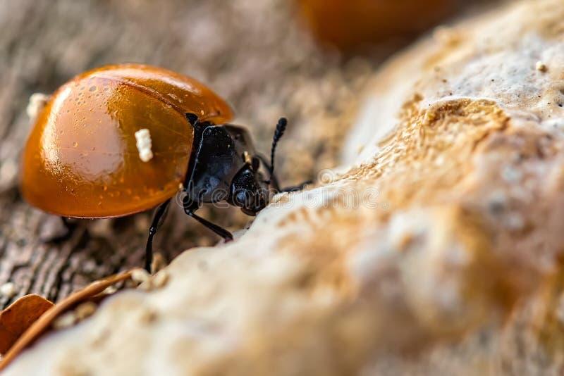 Lieveheersbeestje het voeden op paddestoel op de macrofotografie van de boomboomstam royalty-vrije stock foto's
