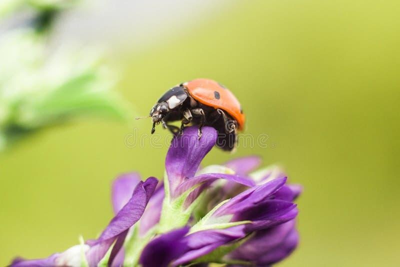 Lieveheersbeestje met purpere bloem stock afbeelding