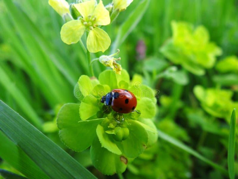 Lieveheersbeestje op blad stock afbeelding