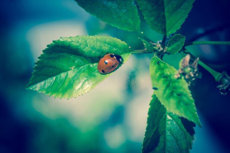 Lieveheersbeestje op bladeren royalty-vrije stock foto's