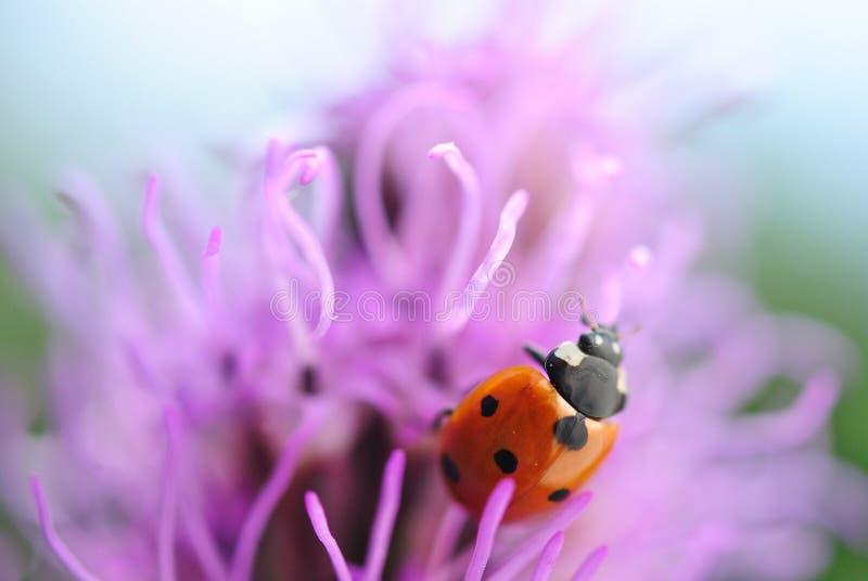 Lieveheersbeestje op de purpere bloem royalty-vrije stock afbeeldingen