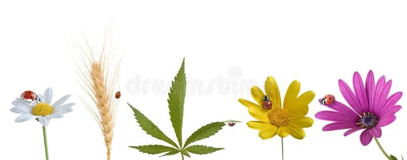 Lieveheersbeestje op divers bloemenblad en tarwe stock foto