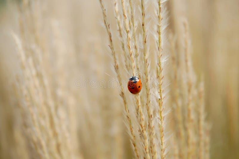 Lieveheersbeestje op droog gras royalty-vrije stock fotografie