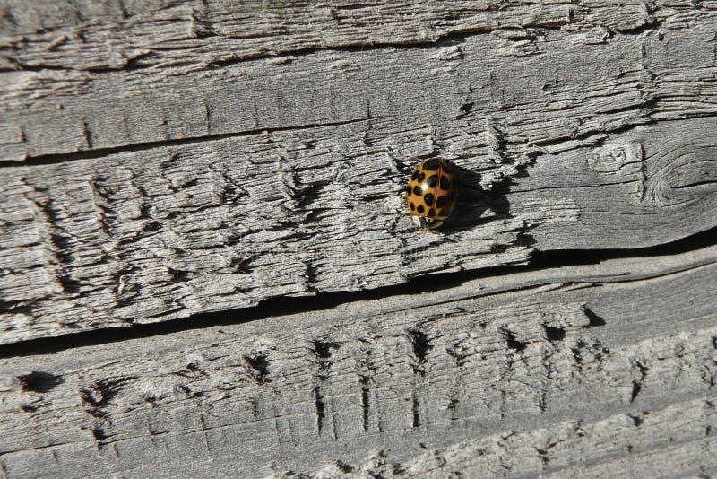 Lieveheersbeestje op een achtergrond van grijs oud geweven hout stock foto's