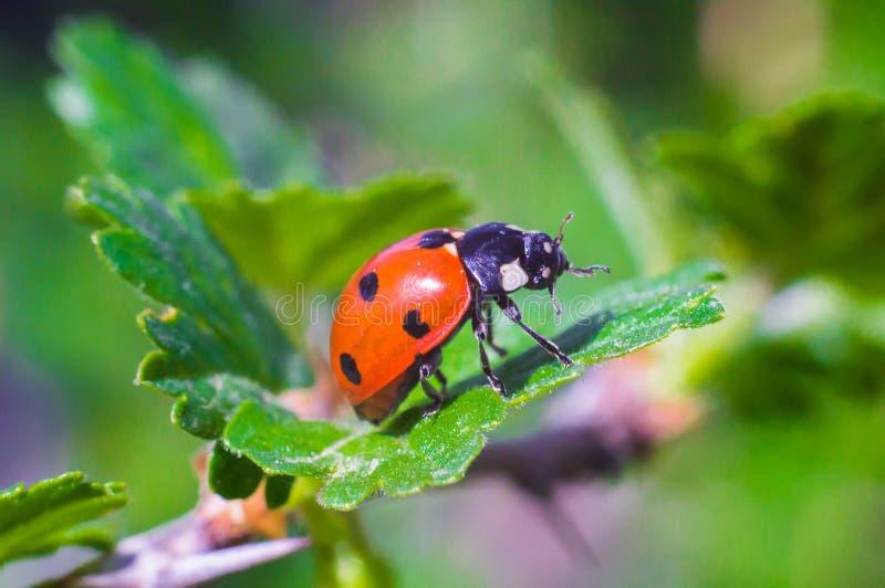 Lieveheersbeestje op een blad royalty-vrije stock fotografie