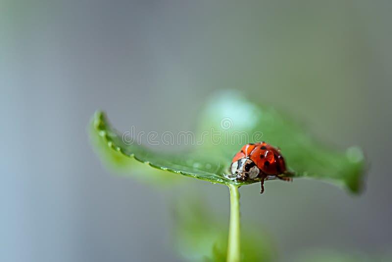 Lieveheersbeestje op een groen blad r stock fotografie