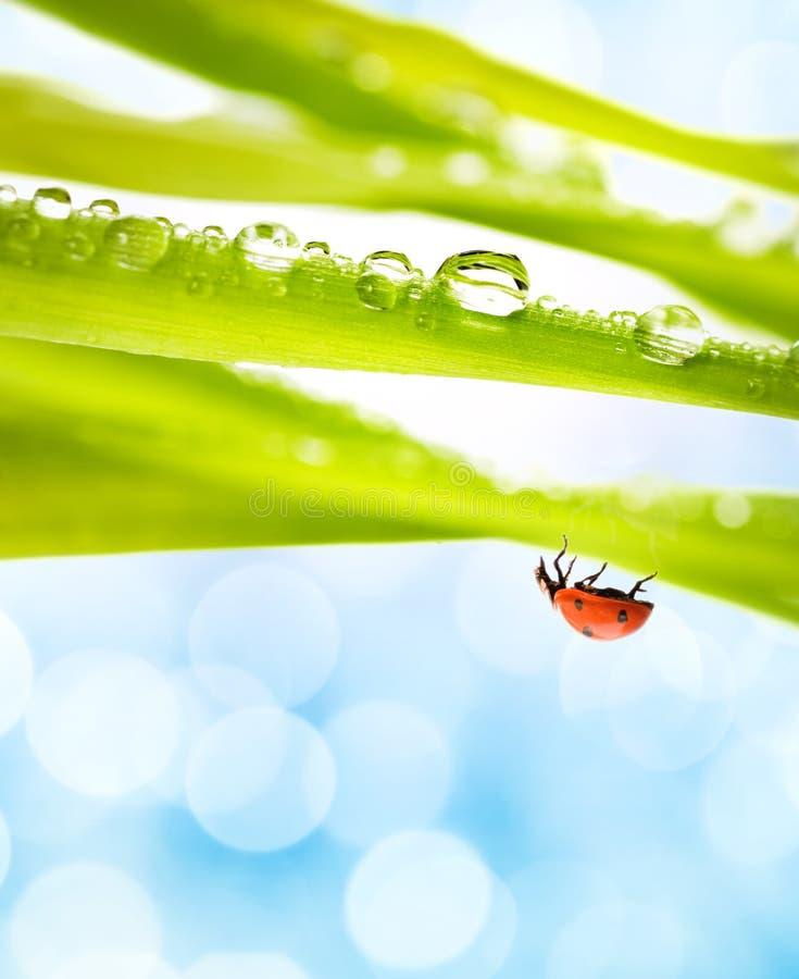 Lieveheersbeestje op een groen gras stock foto's