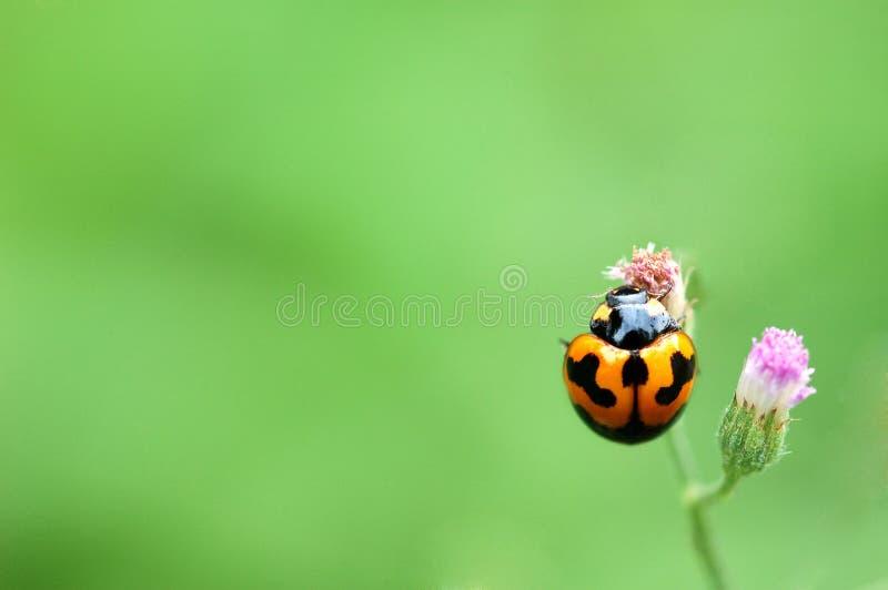 Lieveheersbeestje op een groene bladmacro royalty-vrije stock fotografie