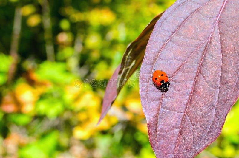 Lieveheersbeestje op een rood blad royalty-vrije stock afbeeldingen
