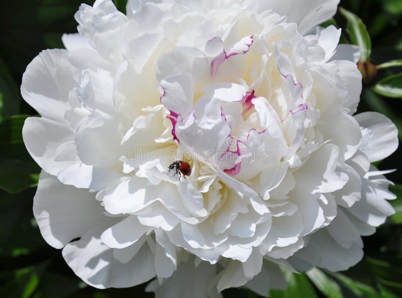 Lieveheersbeestje op een witte bloem stock afbeelding