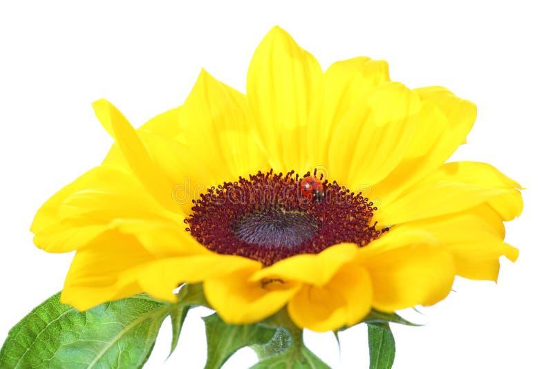 Lieveheersbeestje op een zonnebloem die op wit wordt geïsoleerd stock afbeeldingen