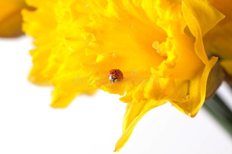 Lieveheersbeestje op gele gele narcissen royalty-vrije stock afbeeldingen