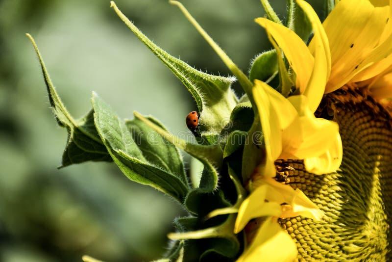Lieveheersbeestje op groen blad in tuin en Zonnebloem stock afbeeldingen