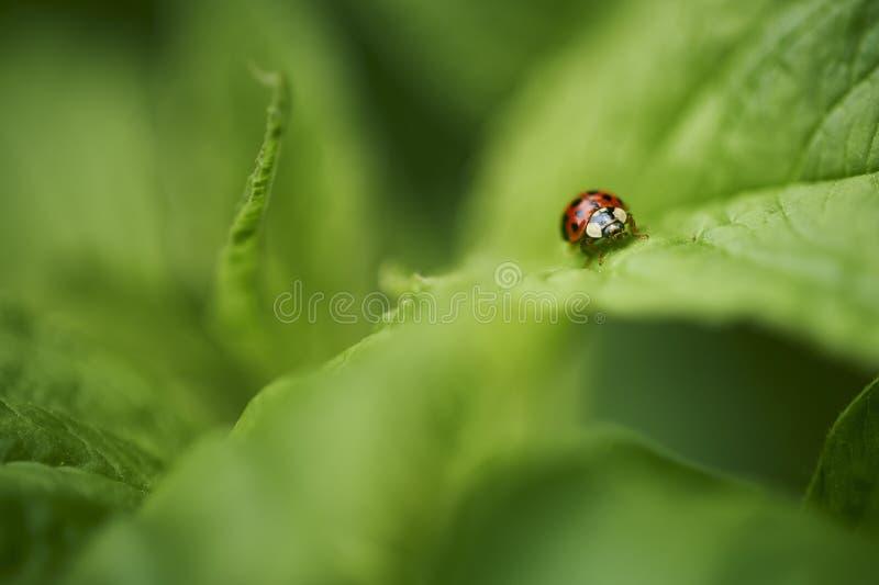 Lieveheersbeestje op groene bladeren stock fotografie