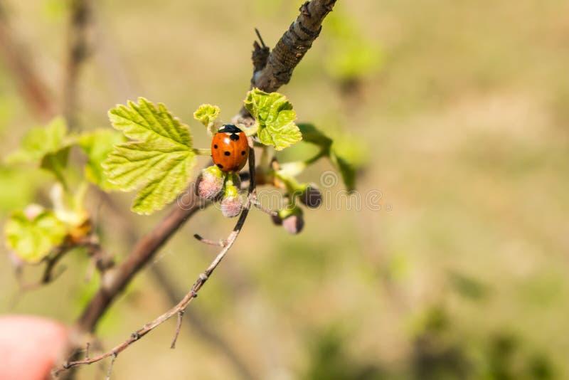Lieveheersbeestje op jonge bladeren en besbessen in de lente royalty-vrije stock afbeelding