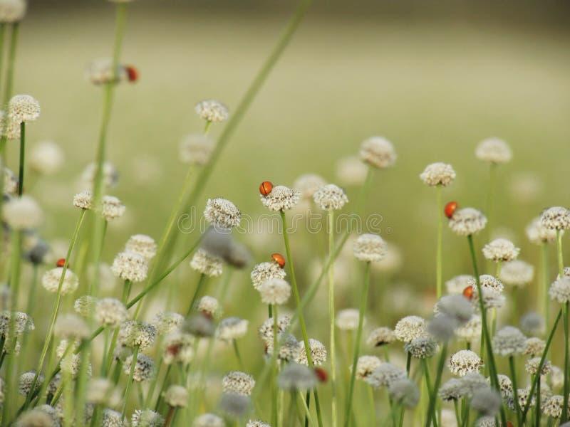 Lieveheersbeestje op kleine witte bloemenbloesem die in de weide bloeien W stock foto