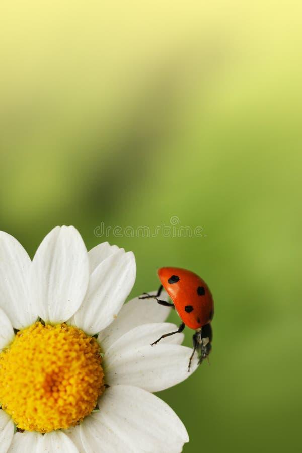 Lieveheersbeestje op madeliefjebloem stock afbeelding