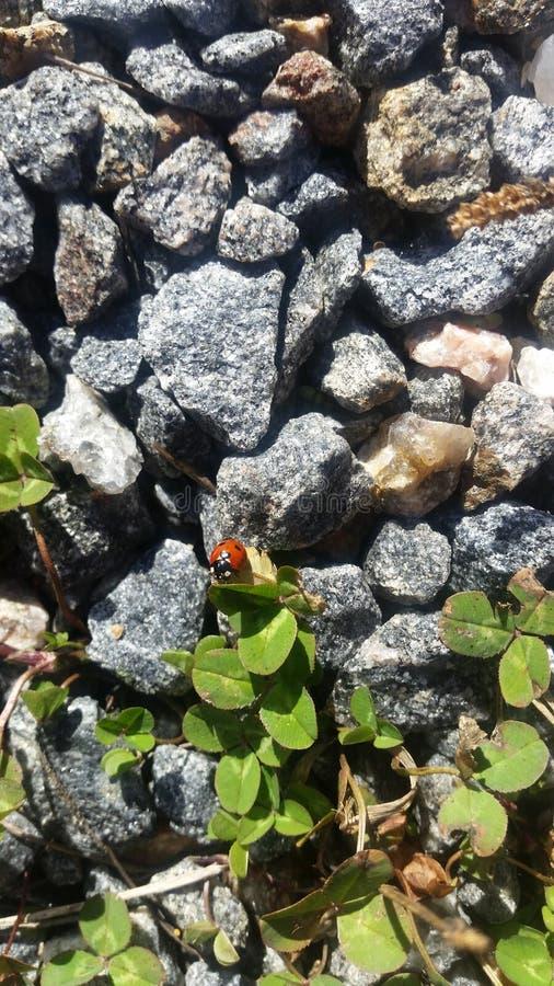 Lieveheersbeestje op rotsen stock fotografie