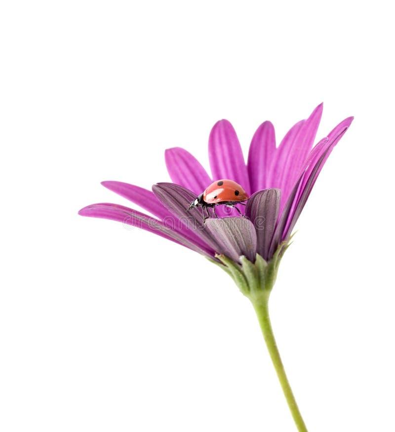 Lieveheersbeestje op roze bloem stock afbeelding