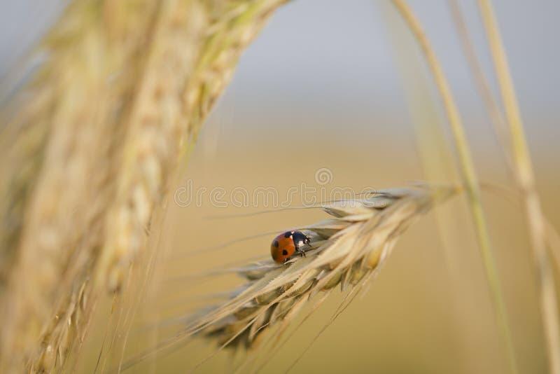 Lieveheersbeestje op tarwe stock foto's
