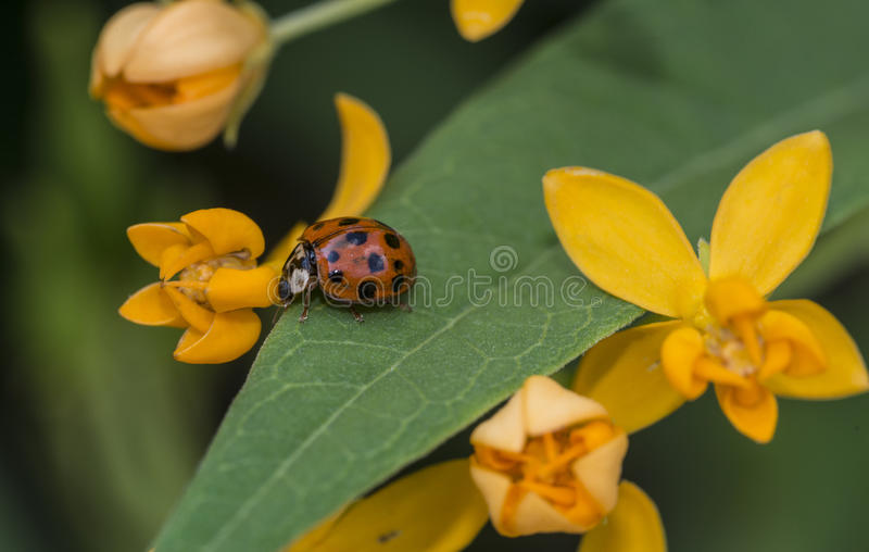 Lieveheersbeestje in tuin stock afbeelding