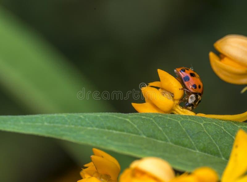Lieveheersbeestje in tuin royalty-vrije stock afbeelding