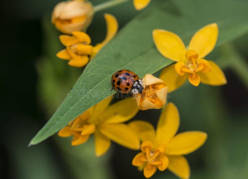Lieveheersbeestje in tuin stock afbeeldingen