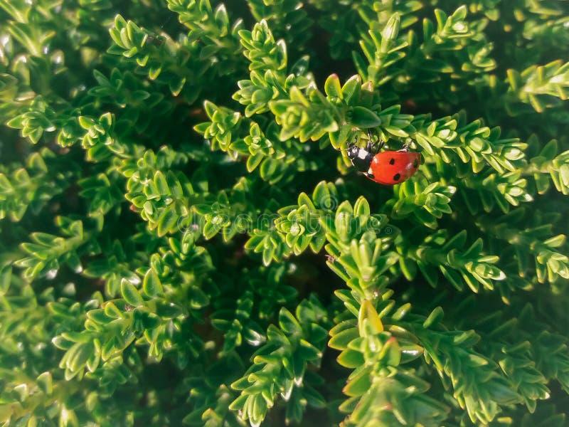 Lieveheersbeestje in tuin royalty-vrije stock afbeeldingen