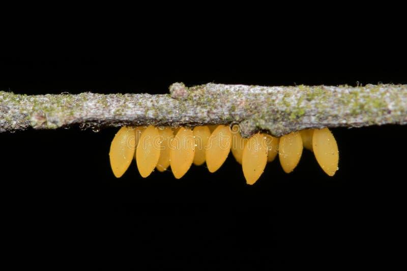 Lieveheersbeestjeeieren in bijlage aan een takje stock afbeeldingen
