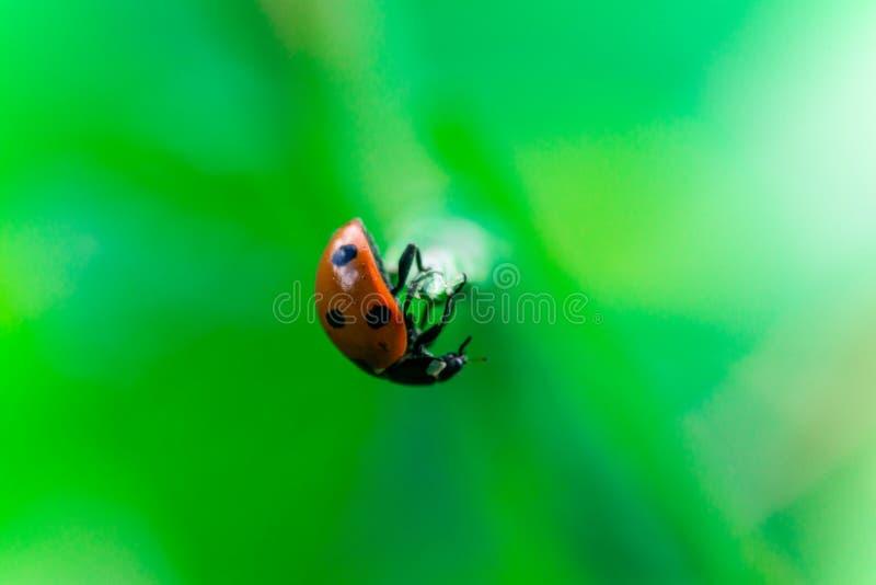 Lieveheersbeestjesaldi bovenop een steel, Coccinellidae, Geleedpotigen, Schildvleugelige, Cucujiformia, Polyphaga stock fotografie