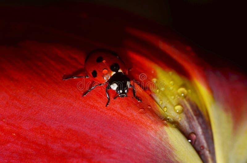 Lieveheersbeestjezitting op de bloemen stock foto
