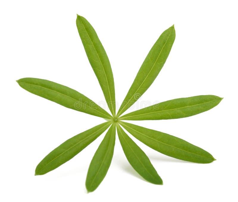 Lievevrouwebedstro (Galium-odoratum) royalty-vrije stock afbeelding