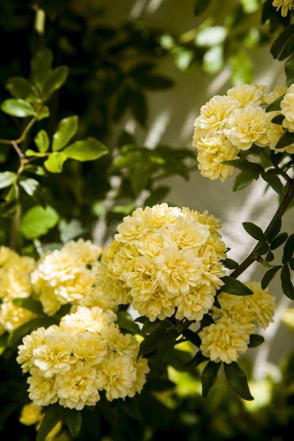 Liez les roses jaunes de ladybanks sur la branche photographie stock libre de droits