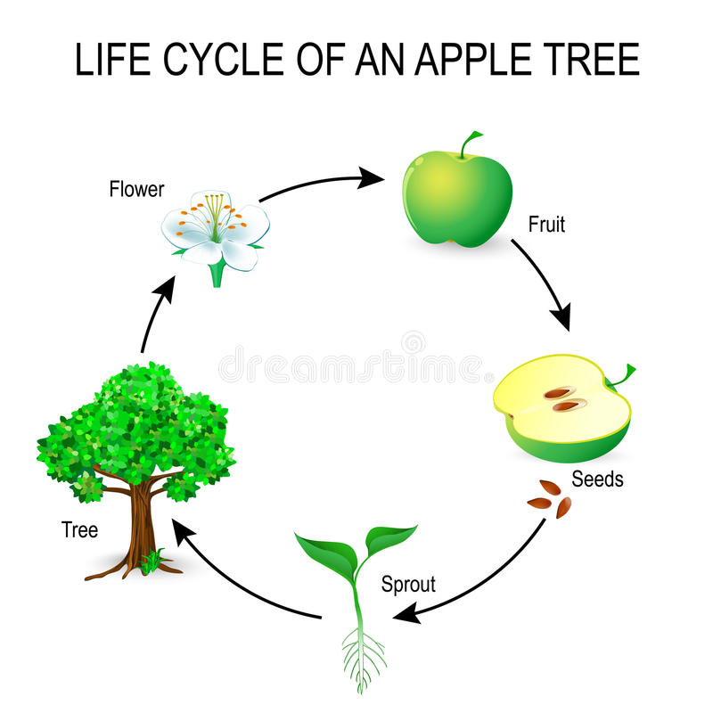 Life cycle of an apple tree. Flower, seeds, fruit, sprout, seed and tree. The most common example of germination from a seed and life cycle of tree. Useful for stock illustration