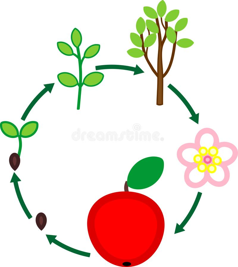 Life cycle of apple tree. Plant growth stage from seed to fruit. Isolated on white background vector illustration