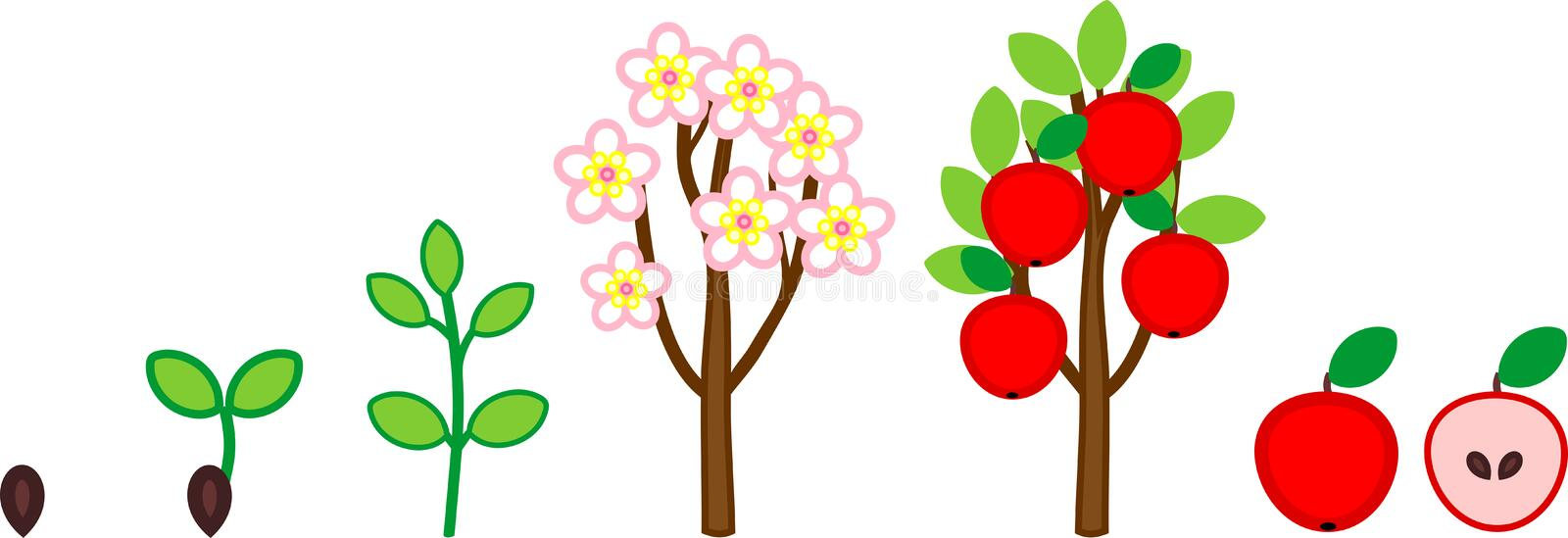 Life cycle of apple tree. Plant growth stage from seed to tree with fruits. Isolated on white background vector illustration