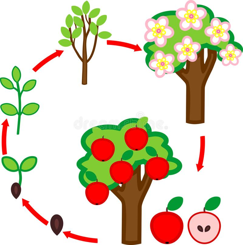 Life cycle of apple tree. Plant growth stage from seed to tree with fruits vector illustration