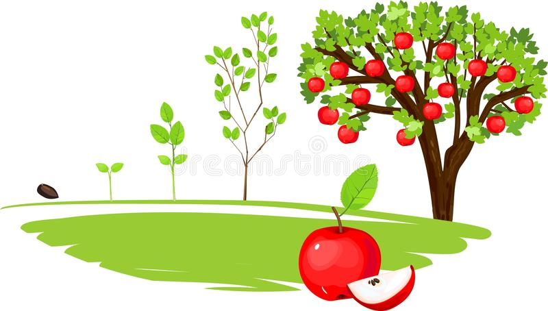 Life cycle of apple tree. On white background stock illustration