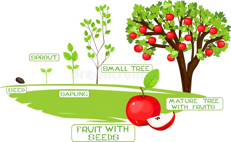 Life cycle of apple tree. On white background vector illustration