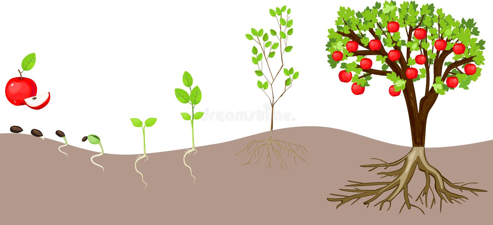 Life cycle of apple tree. On white background royalty free illustration