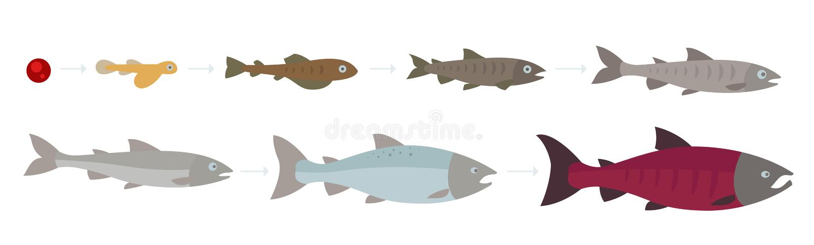 Life cycle of the Atlantic Salmon. Stages of salmon fish growth set. Coho salmon growth from egg to fry. Sockeye. Aquaculture grow up animation progression stock illustration